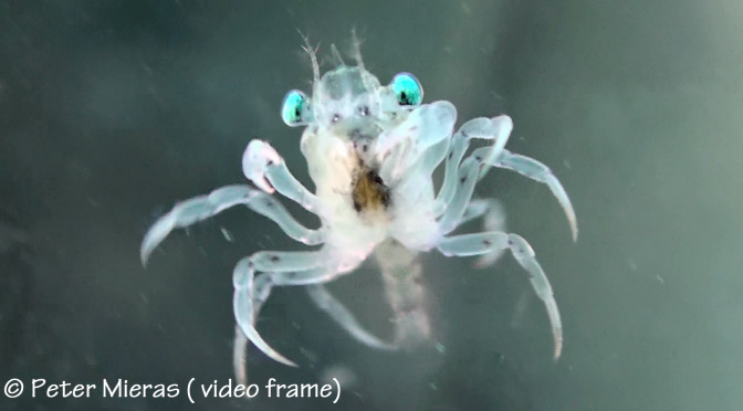juvenile dungeness crab testimonials