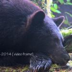 Black bear falling asleep after eating salmon