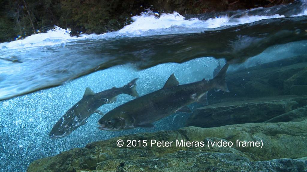 salmon in raging river