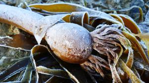 frozen kelp