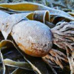frozen bull kelp