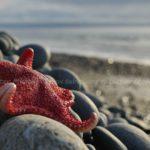 sea star on pebble beach